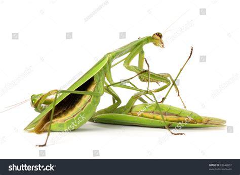 Praying Mantis On White Background Stock Photo 83442007 ...