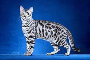 silver bengal cat bengal cat