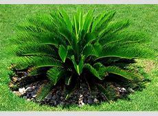 Cycad Sago Palm Hello Hello Plants & Garden Supplies