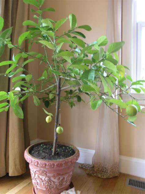 pot for lemon tree meyer lemon tree 8 quot pot hello hello plants garden supplies