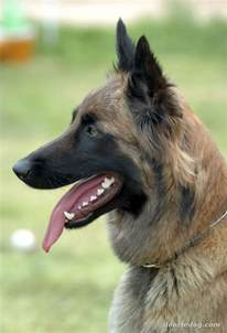 Excessive Hair Shedding In Dogs by The Dog In World Belgian Malinois Dogs