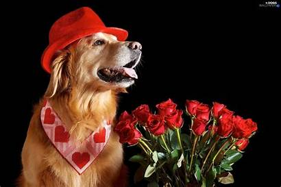 Valentine Dog Dogs Golden Retriever Wallpapers Roses