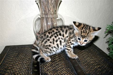 Savannah Cat Characteristics, Prices And Pictures