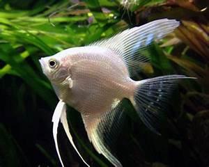 Platinum Angelfish Aquarium Hobbyist Resource and Social