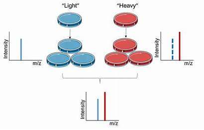 Silac Principle Isotope Labeling Stable Cell Culture