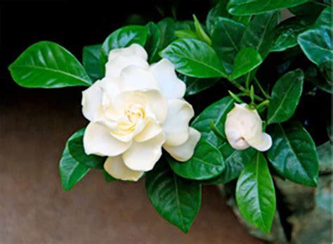 Indoor Plants With Fragrant Flowers Whav