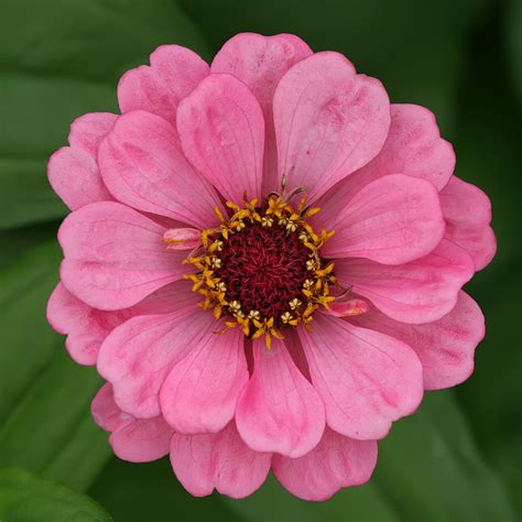 pics of zinnias zinnia flower wallpaper wallpapers9