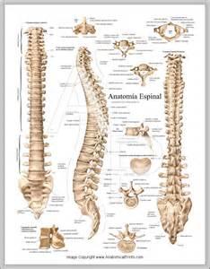 Spine Anatomy Chart