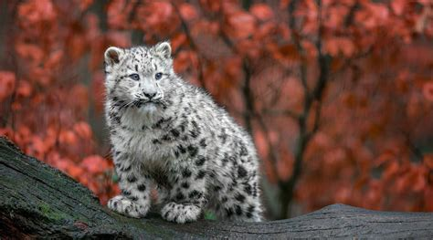 Fall Wallpaper With Animals - animals big cats snow leopards baby animals germany fall