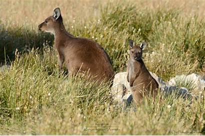 Kangaroo Island Kangaroos Australia Called Own Related
