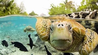 Turtle Backgrounds Sea Turtles Wallpapers Pixelstalk Face