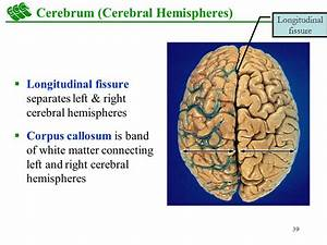 Overview Brain Stem Cerebellum Diencephalon Cerebrum ...
