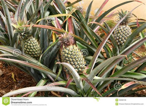 Pineapple Plants With Green Pineapples Stock Photo Image