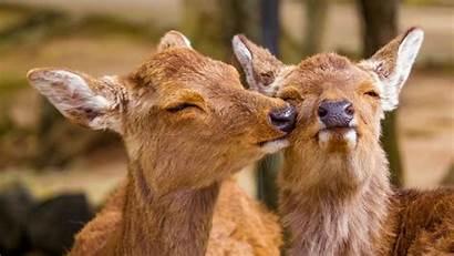 Funny Deer Animals Wildlife Laptop Background Tablet