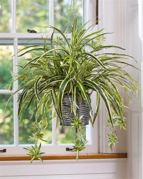 small bathroom ideas hanging spider plant silk foliage planter at petals