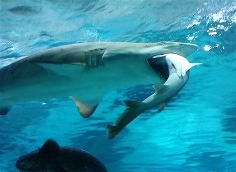 vid 201 o pour le d 238 ner ce requin d un aquarium de s 233 oul a englouti rival