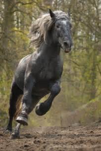 Draft Horse Percheron Stallion