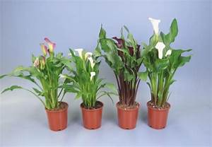 Tulpenzwiebeln Im Topf Pflanzen : topfpflanzen f r ein sch nes zuhause und das richtige ~ Lizthompson.info Haus und Dekorationen