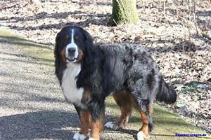 Berner Sennenhund Gewicht : berner sennenhund deckr de mit papieren 437686 ~ Markanthonyermac.com Haus und Dekorationen