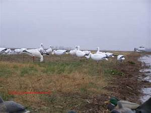 Best Specklebelly Goose Hunting Tips  U2013 Hunt In The