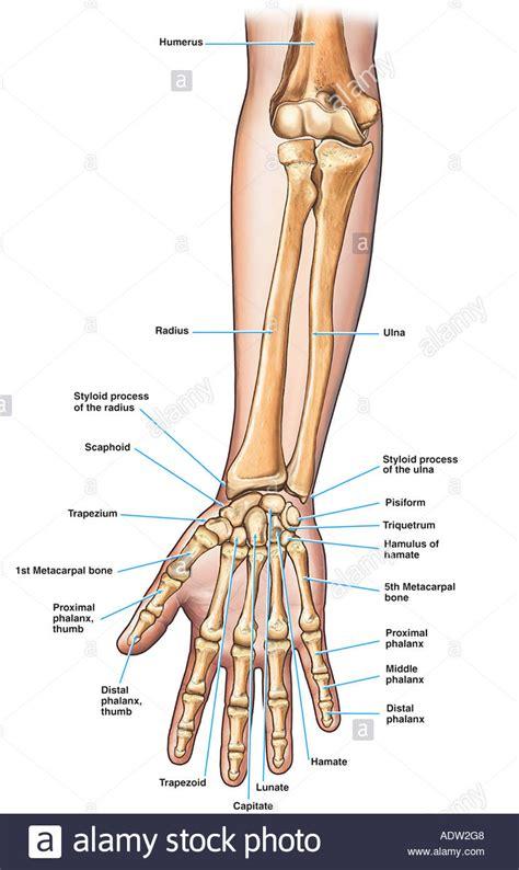 Forearm Bone Anatomy  Anatomy Organ