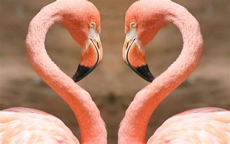 heart  flamingos    animals photography