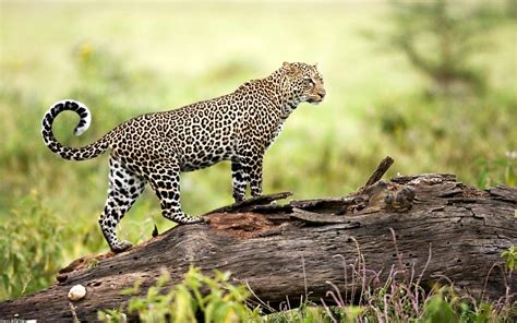 Live Animal Wallpaper For Mobile - nature animals wildlife leopard log wallpapers hd