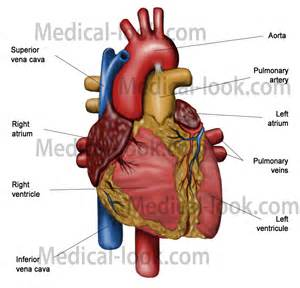 Human Heart Anatomy Diagram