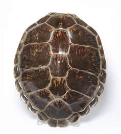 turtle shell tennants auctioneers green turtle shell chelonia mydas