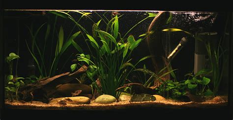 Aquascape Piranha greetings aquascaping world forum