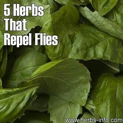 fly repellent plant fly repel plants outside pinterest