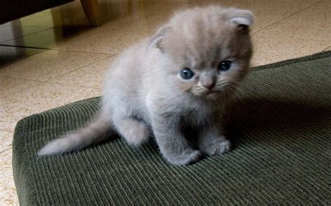 scottish fold baby 1920x1200 wallpapers scottish fold 1920x1200 wallpapers pictures free