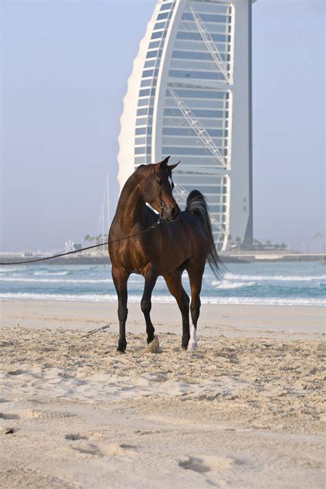 dubai arabian stud arabian horses stallions farms