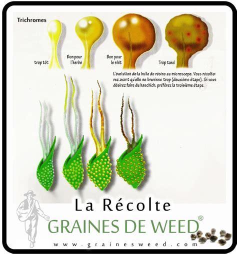 chambre de sechage cannabis la récolte du cannabis graines de