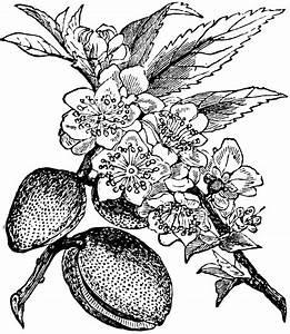 Almond-tree | ClipArt ETC