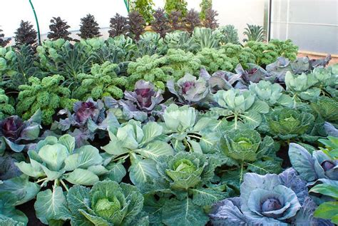 cool weather crops kale cabbages growing in vegetable
