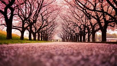 Cherry Blossoms Pink Alley Wallpapers Nature Desktop