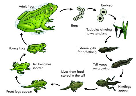 blog  frog life cycle