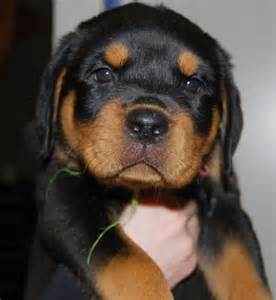 Funny Cute Puppies Rottweiler