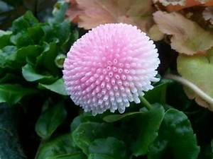 Pink flower - looks like pink Bachelors button