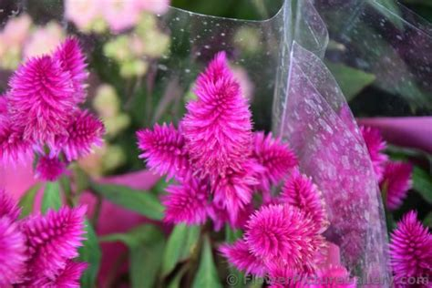 bright pink pine cone shape flower from kusadasi turkey jpg 1 comment hi res 1080p hd