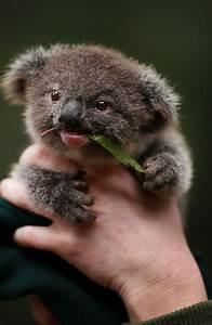 17+ Koala Bear wallpapers HD free Download