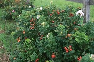Wilde Triebe Rosen : wild pearl rugosa rosenschule ruf ~ Lizthompson.info Haus und Dekorationen