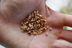 Planter Graine Tomate : comment planter graines tomates ~ Dallasstarsshop.com Idées de Décoration