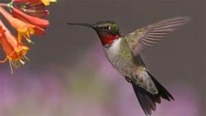Hummingbirds, Migrating, Earlier, In, Spring, Study