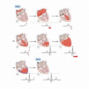 Pocket Anatomy  U0026 Physiology