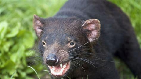 The tasmanian devil is a carnivorous marsupial native to australia. 8 Fiendish Facts About Tasmanian Devils | Mental Floss