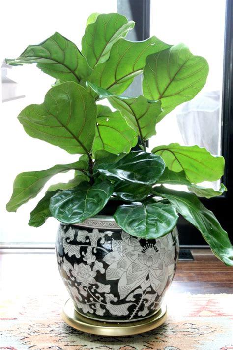 fiddle leaf fig tree house tweaking 8901