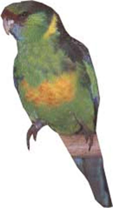 perruche de barnard fiche d 233 taill 233 e oiseaux de cage et