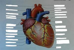Anatomy Of The Heart  Exercise 30  Flashcards